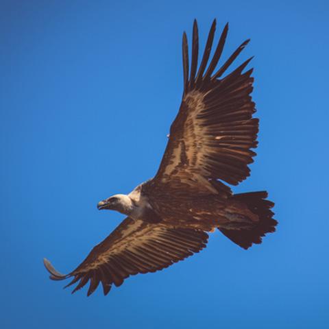 Vulture on fly, Las Merindades, Burgos, Castilla y Leon, Spain